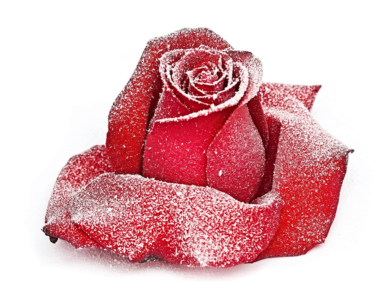 Фотография роза красная Снег Цветы белым фоном Крупным планом Розы красных Красный красные снеге снегу снега цветок вблизи Белый фон белом фоне