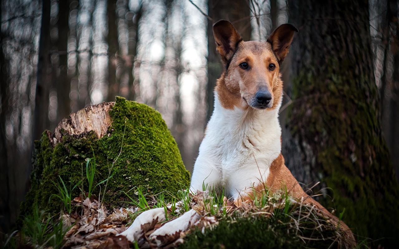 Фотографии собака лес пне Мох Взгляд Животные Собаки Леса Пень мха мхом смотрит смотрят животное