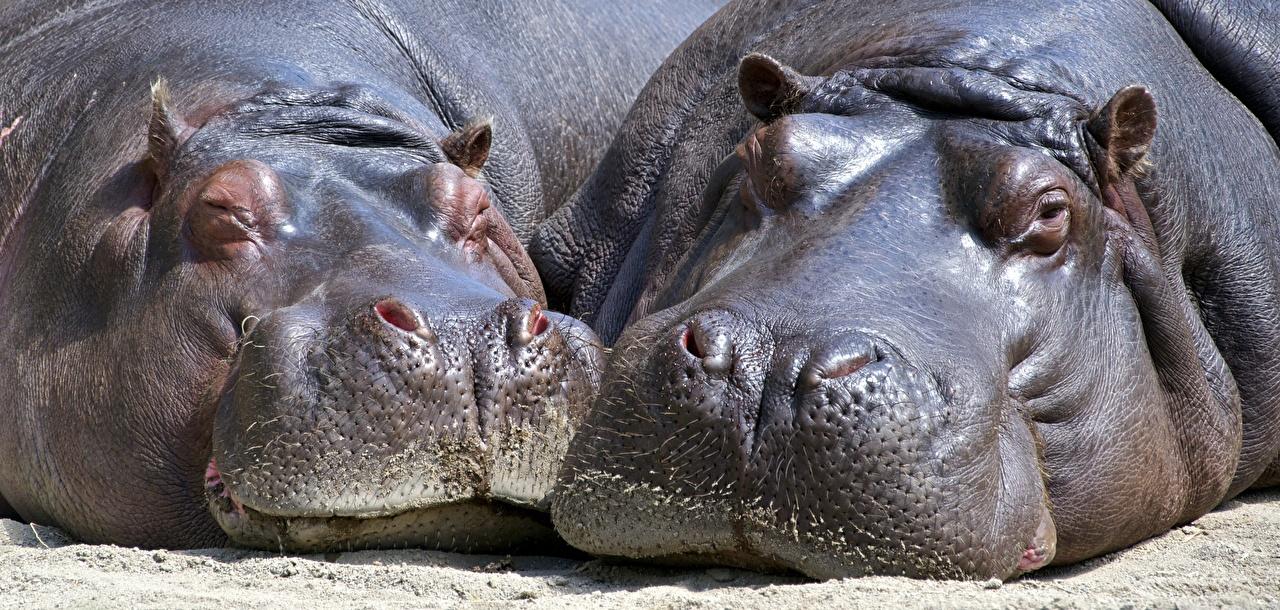 Обои для рабочего стола Гиппопотамы две вблизи головы животное Бегемоты 2 два Двое вдвоем Голова Животные Крупным планом