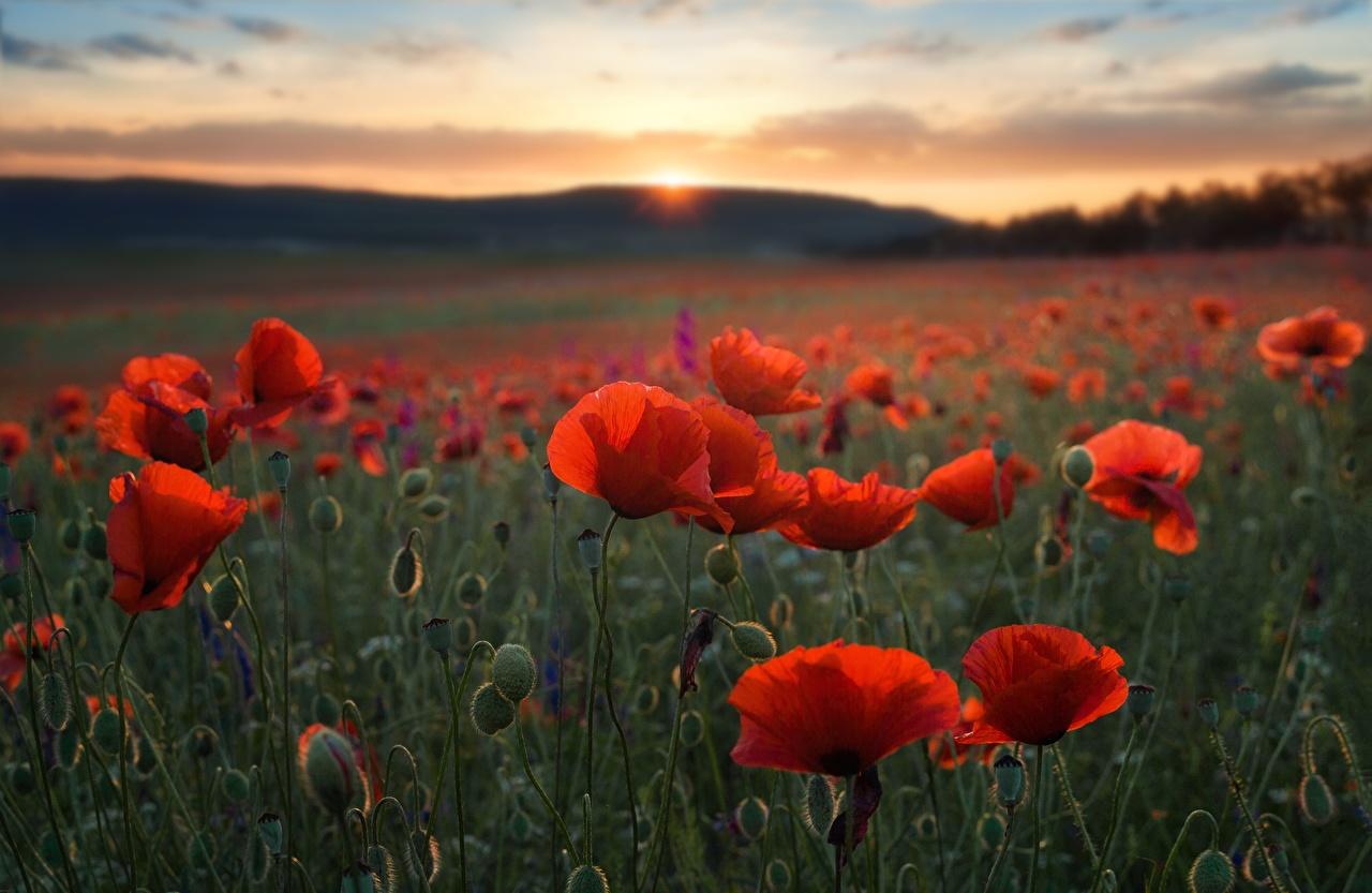 Картинка Природа Маки Поля Цветы Вечер