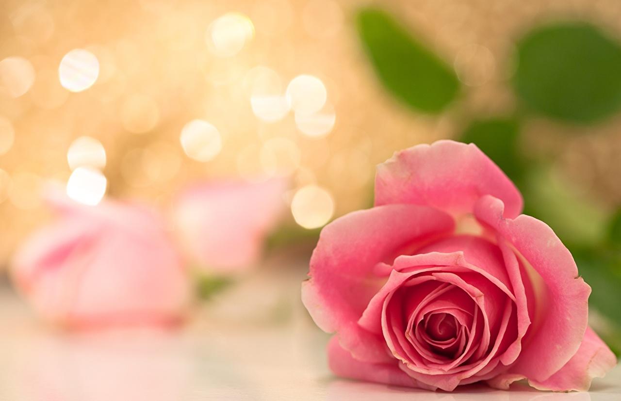 Картинки роза Розовый цветок Крупным планом Розы розовая розовые розовых Цветы вблизи