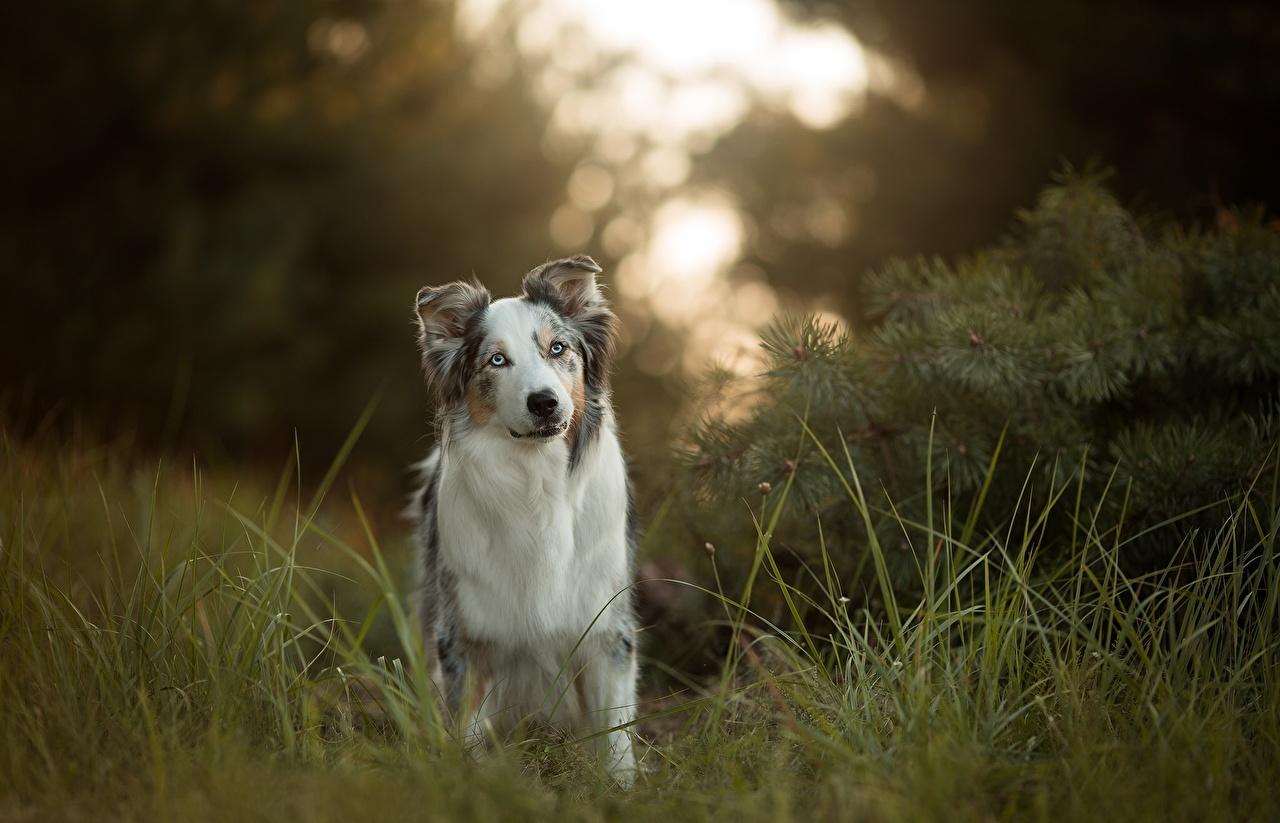 Картинка Австралийская овчарка Собаки Трава Животные