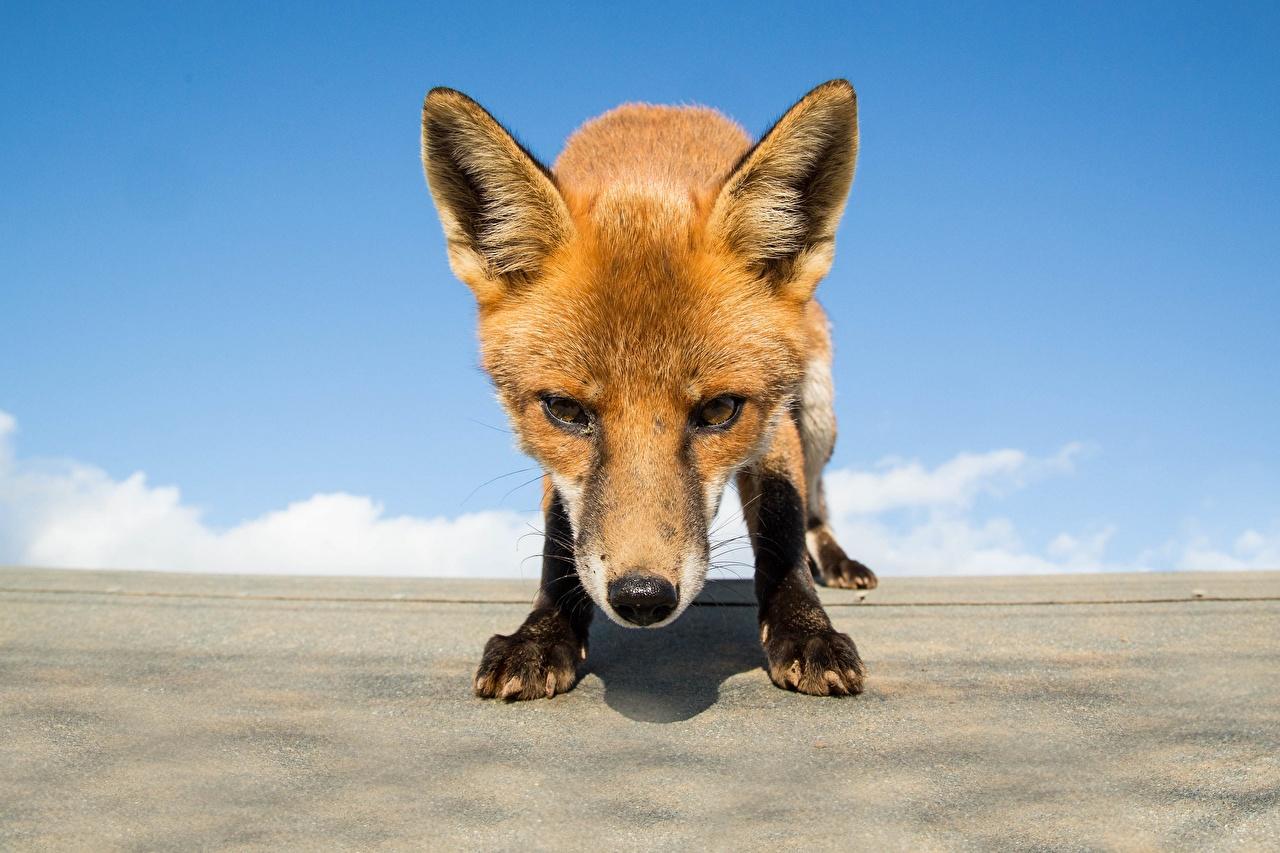 Картинка Лисы Морда смотрят животное Лисица морды Взгляд смотрит Животные