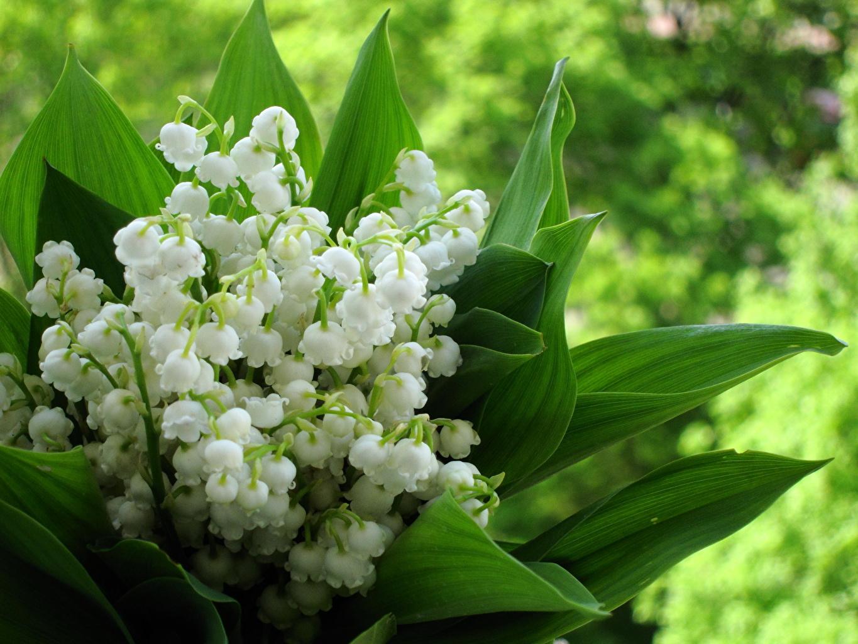 природа белые цветы ландыши бесплатно