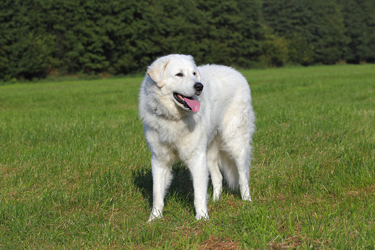 Фотографии Собаки Kuvasz Белый Язык (анатомия) Трава Животные