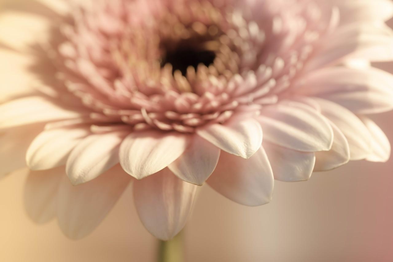 Картинка Размытый фон Герберы цветок Крупным планом боке гербера Цветы вблизи