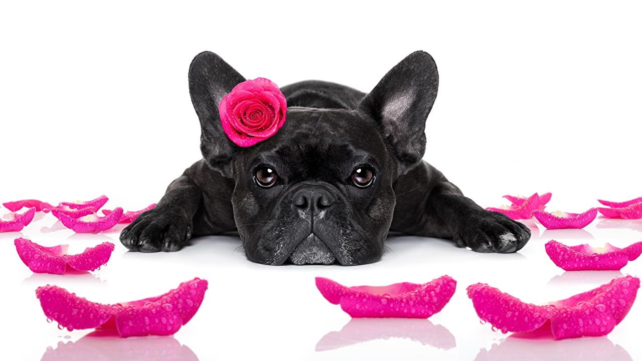Обои Французский бульдог Собаки Розы Черный Розовый Лепестки Взгляд Животные Белый фон смотрит