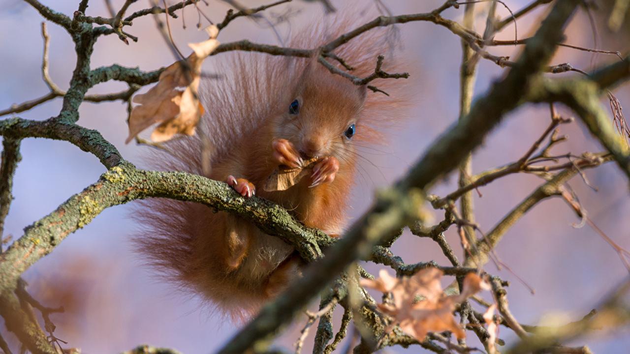 Картинка Белки боке на ветке смотрят Животные белка Размытый фон ветвь ветка Ветки Взгляд смотрит животное