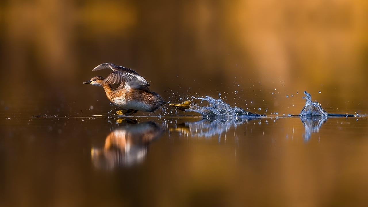 Фотография Утки взлетают бегущий воде животное утка Взлет взлетает Бег бежит бегущая Вода Животные