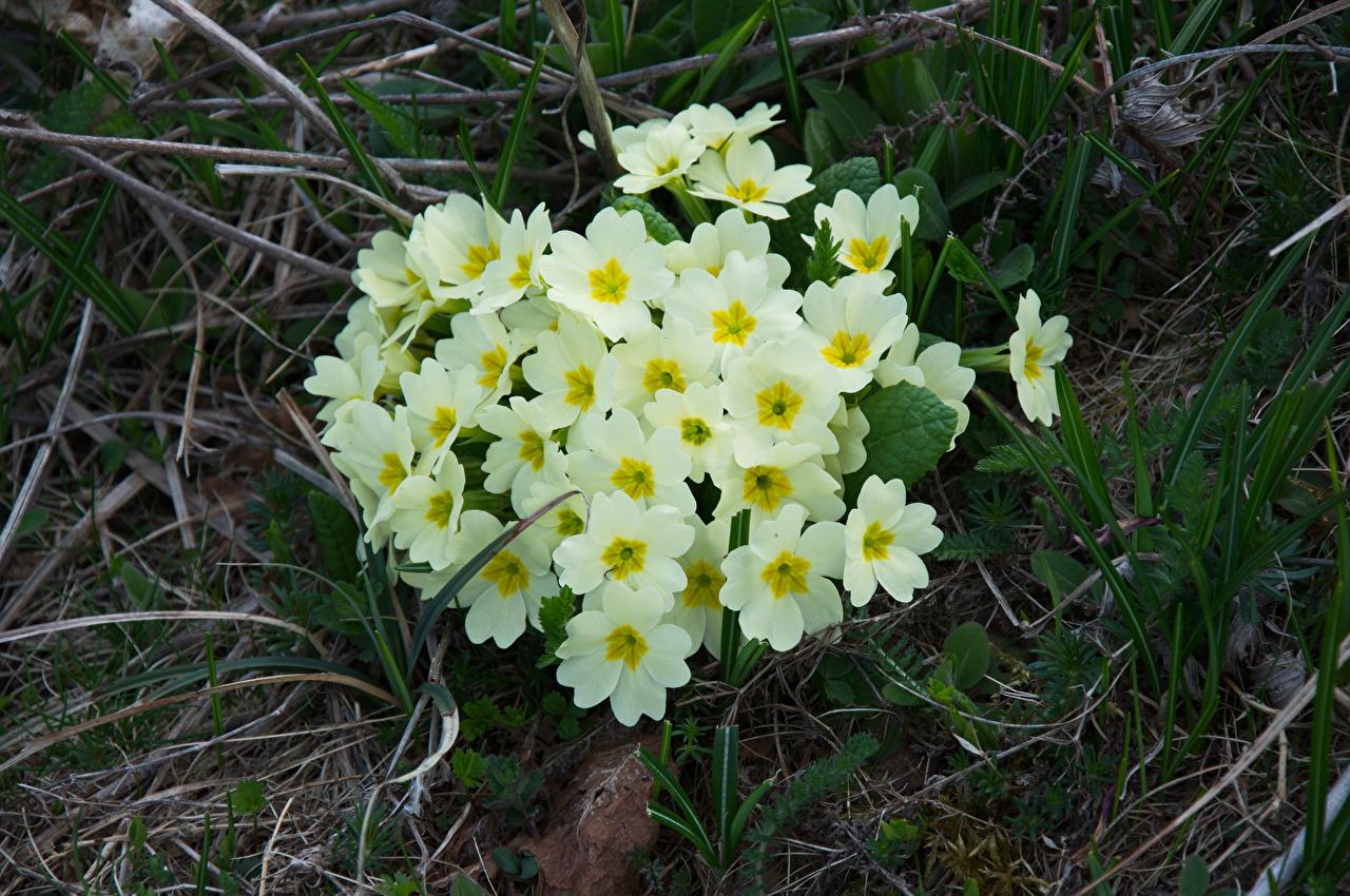 Обои Белый Цветы Примула Первоцвет