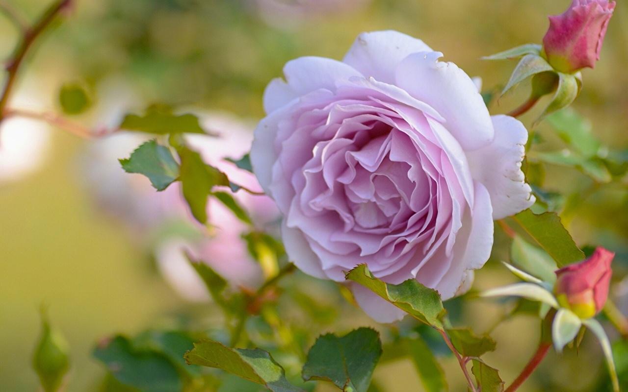 Картинки Розы Цветы Крупным планом роза цветок вблизи