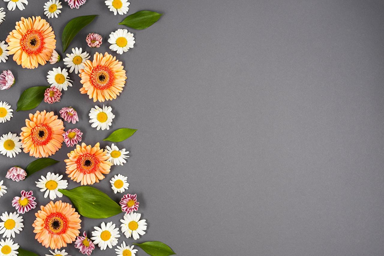 Фото Герберы Цветы Ромашки Цветной фон гербера цветок ромашка