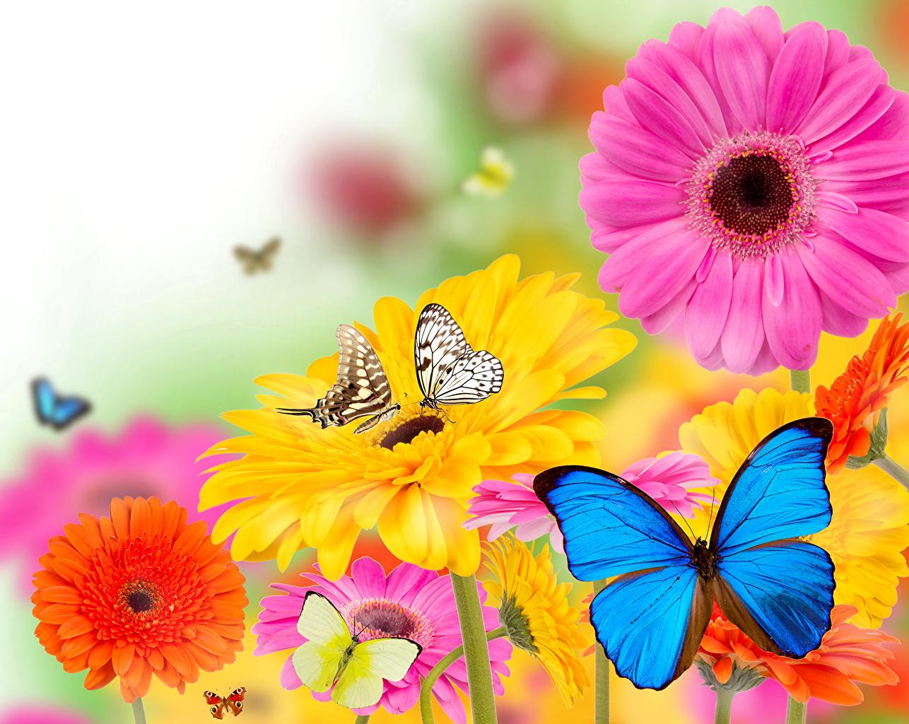 Картинки бабочка Герберы Цветы Бабочки гербера цветок