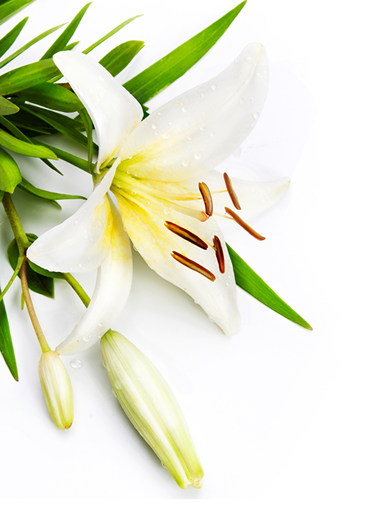 Картинки лилия белые цветок Бутон белым фоном  для мобильного телефона Лилии белая Белый белых Цветы Белый фон белом фоне