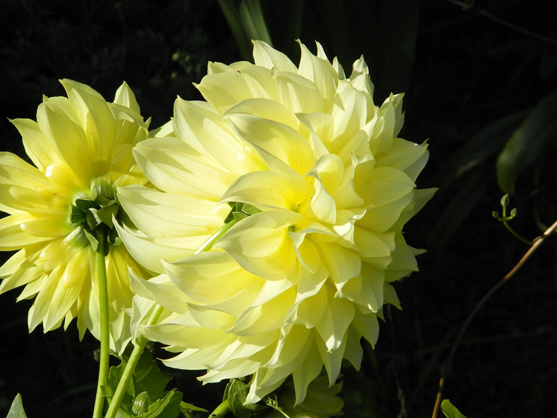 Картинки Двое Желтый Цветы Георгины вблизи 2 вдвоем Крупным планом
