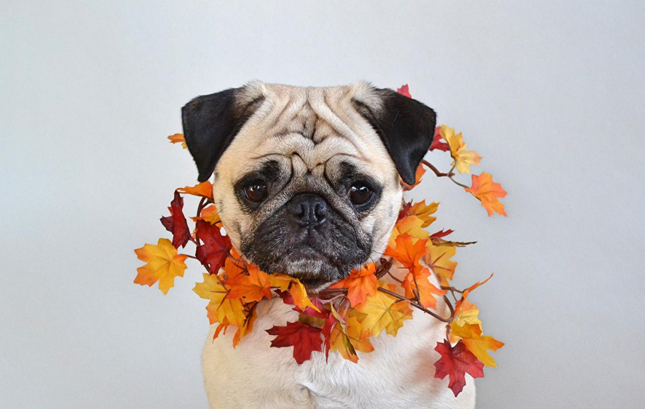 Фотографии мопса собака Листья клёновый Осень морды Животные сером фоне Мопс мопсы Собаки лист Листва Клён клёна осенние Морда животное Серый фон