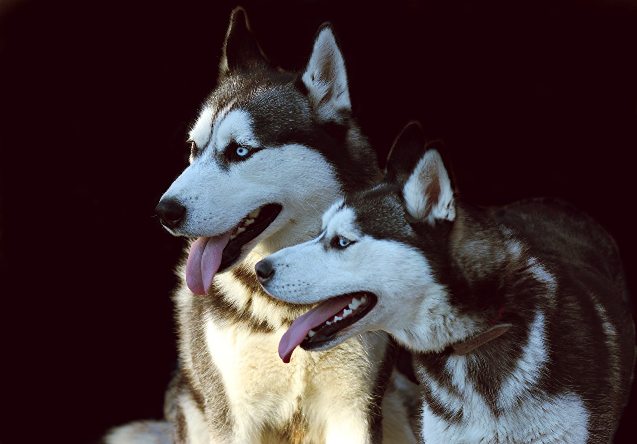 Картинка Хаски собака Двое Язык (анатомия) животное Собаки 2 два две вдвоем языком Животные