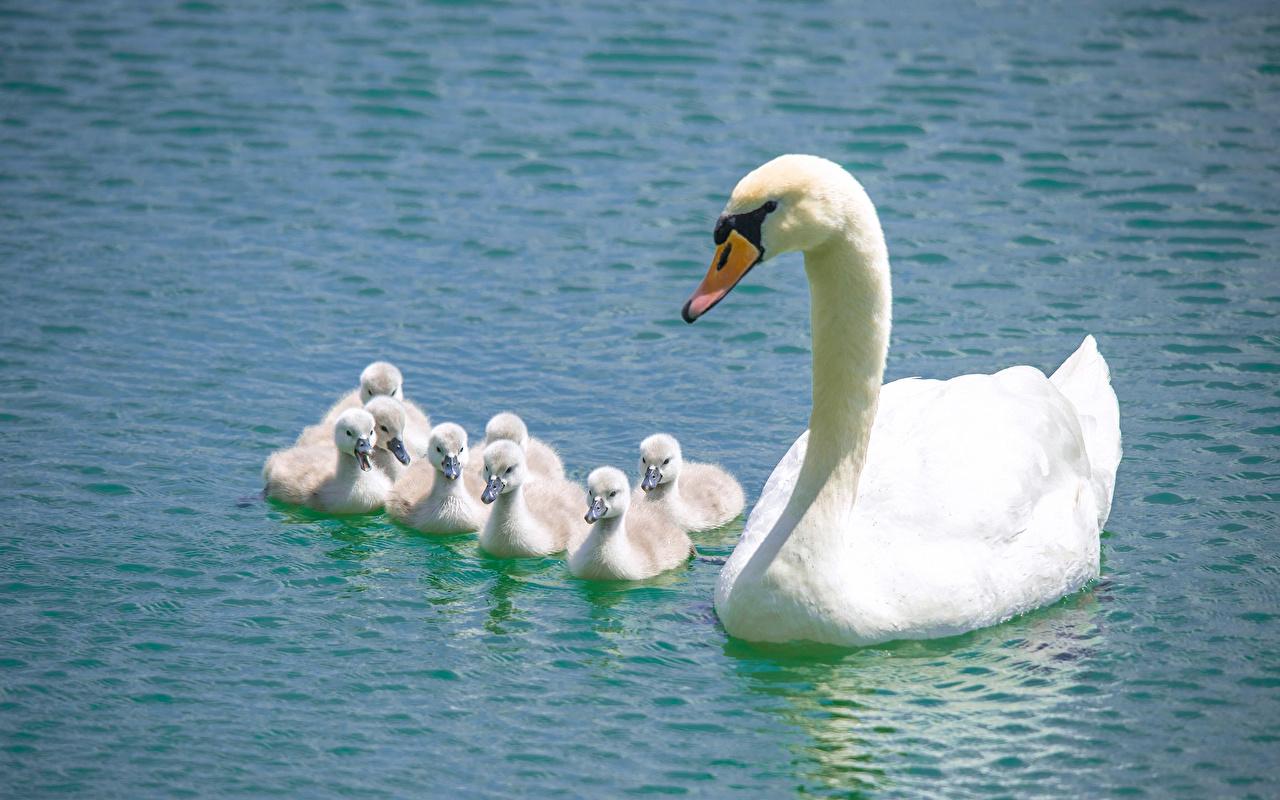 Картинки Лебеди Птенцы Белый Вода Животные