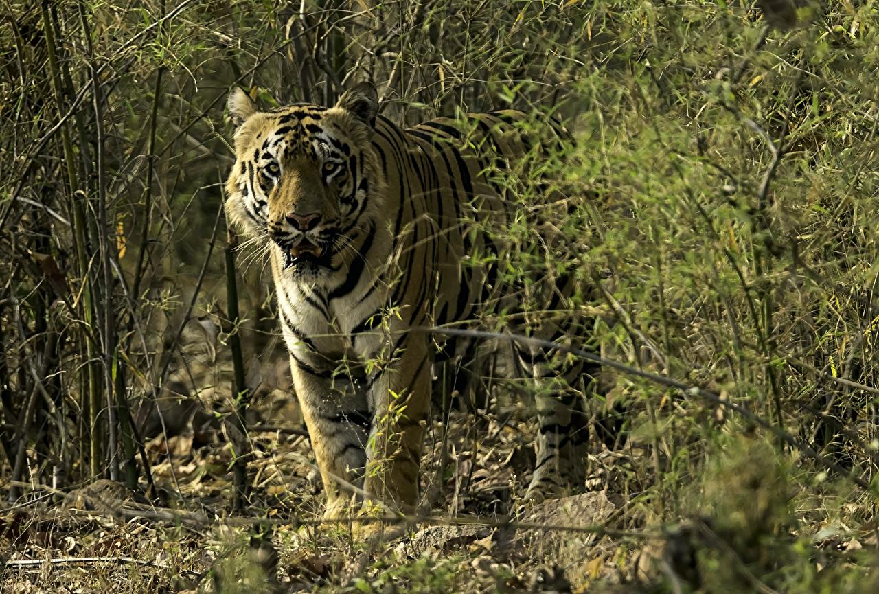 Обои для рабочего стола тигр Большие кошки Животные Тигры животное