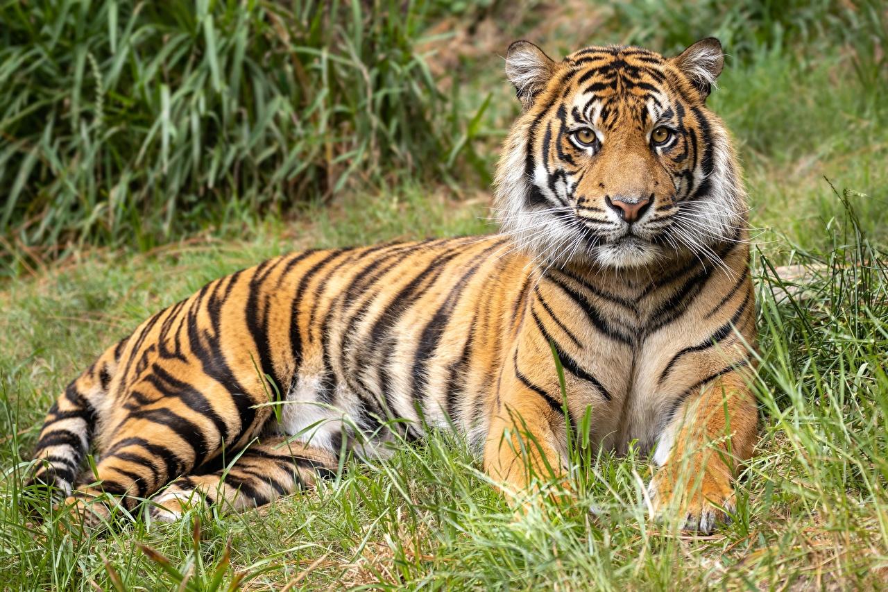 Обои для рабочего стола тигр лежат траве морды Взгляд Животные Тигры лежа Лежит лежачие Трава Морда смотрит смотрят животное