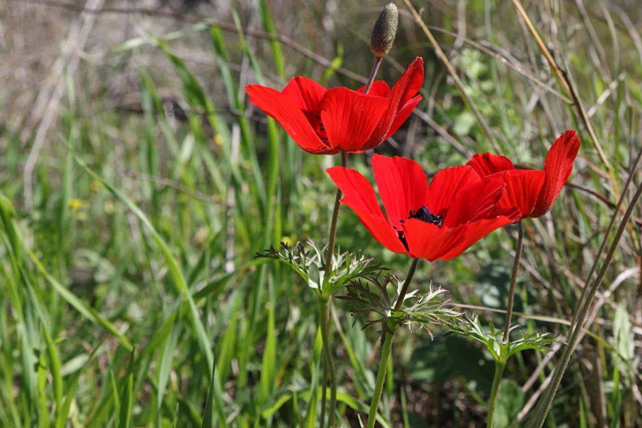 Обои для рабочего стола Размытый фон красная Цветы Трава Ветреница Бутон боке Красный красные красных цветок траве Анемоны