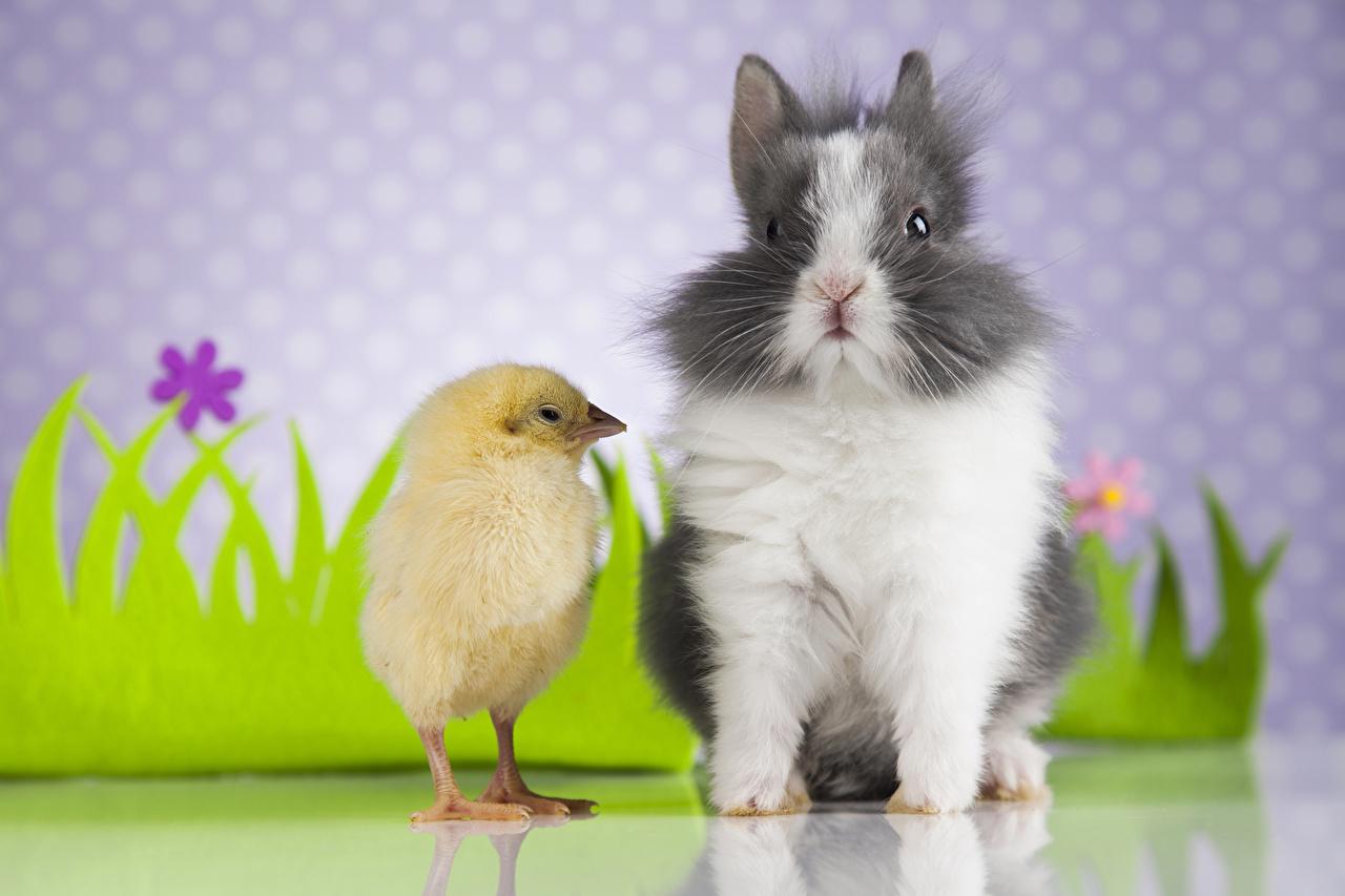 Фотография Кролики Птенец курицы два Животные кролик Цыплята 2 две Двое вдвоем животное