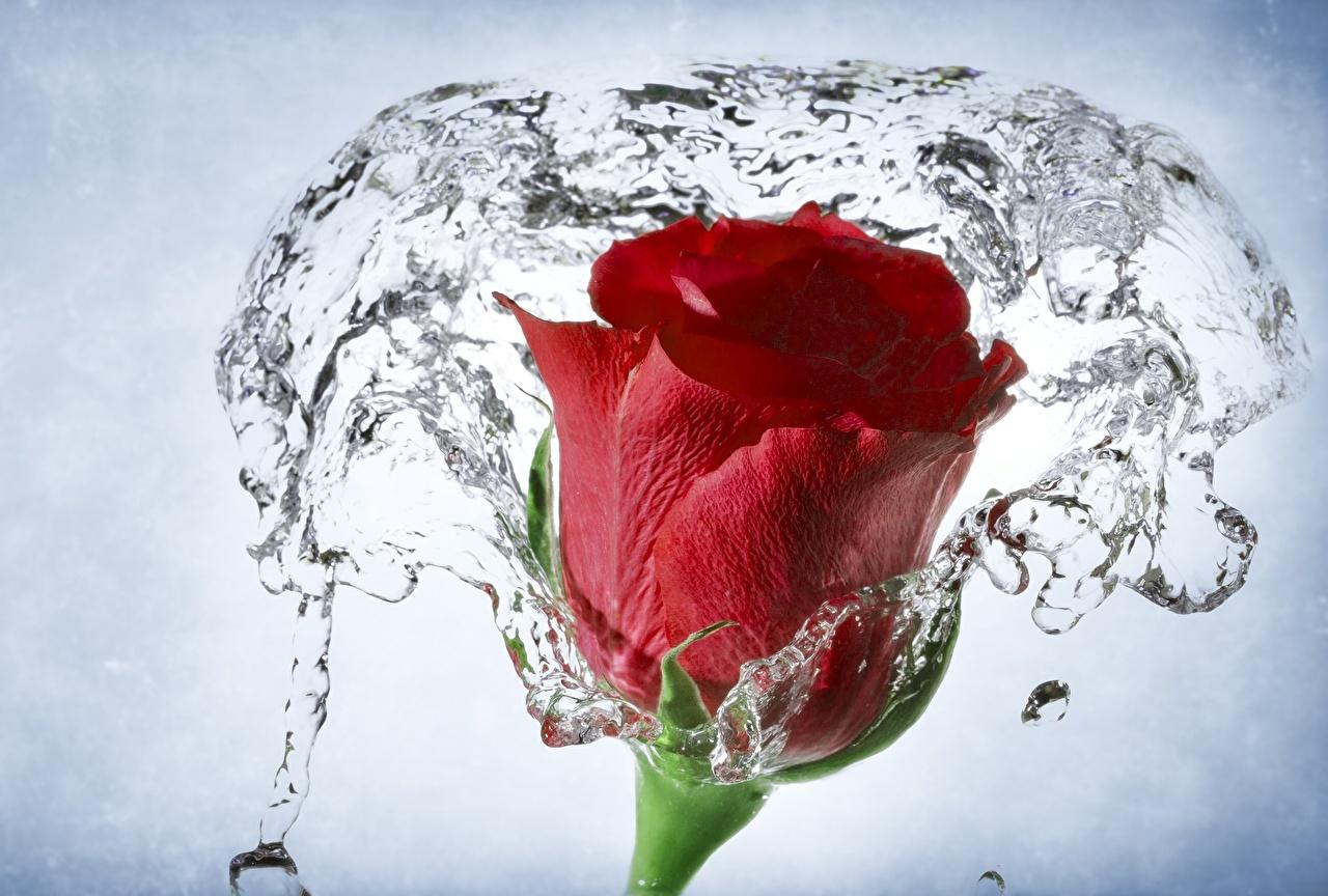 Обои для рабочего стола роза красных цветок Вода вблизи Розы красная красные Красный Цветы воде Крупным планом