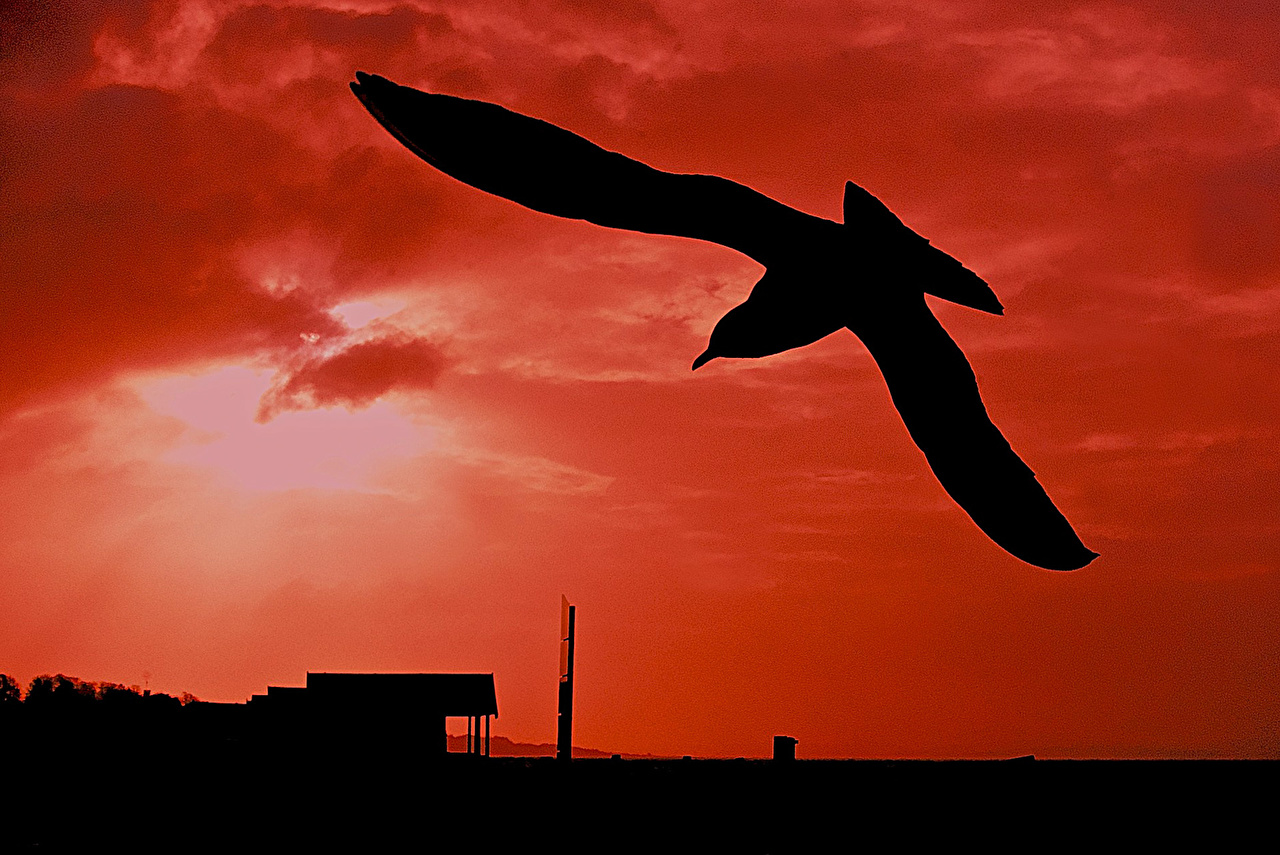 Картинки Чайка птица силуэта Чай животное Птицы Силуэт силуэты Животные