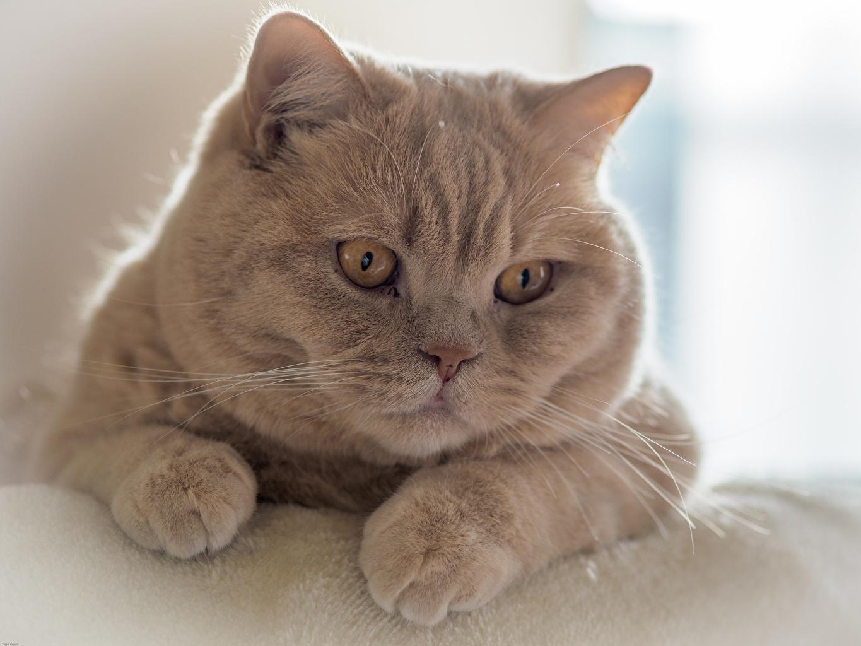 Фотография животное Кошки Морда смотрит Лапы Британская короткошёрстная Животные кот коты кошка морды Взгляд смотрят лап