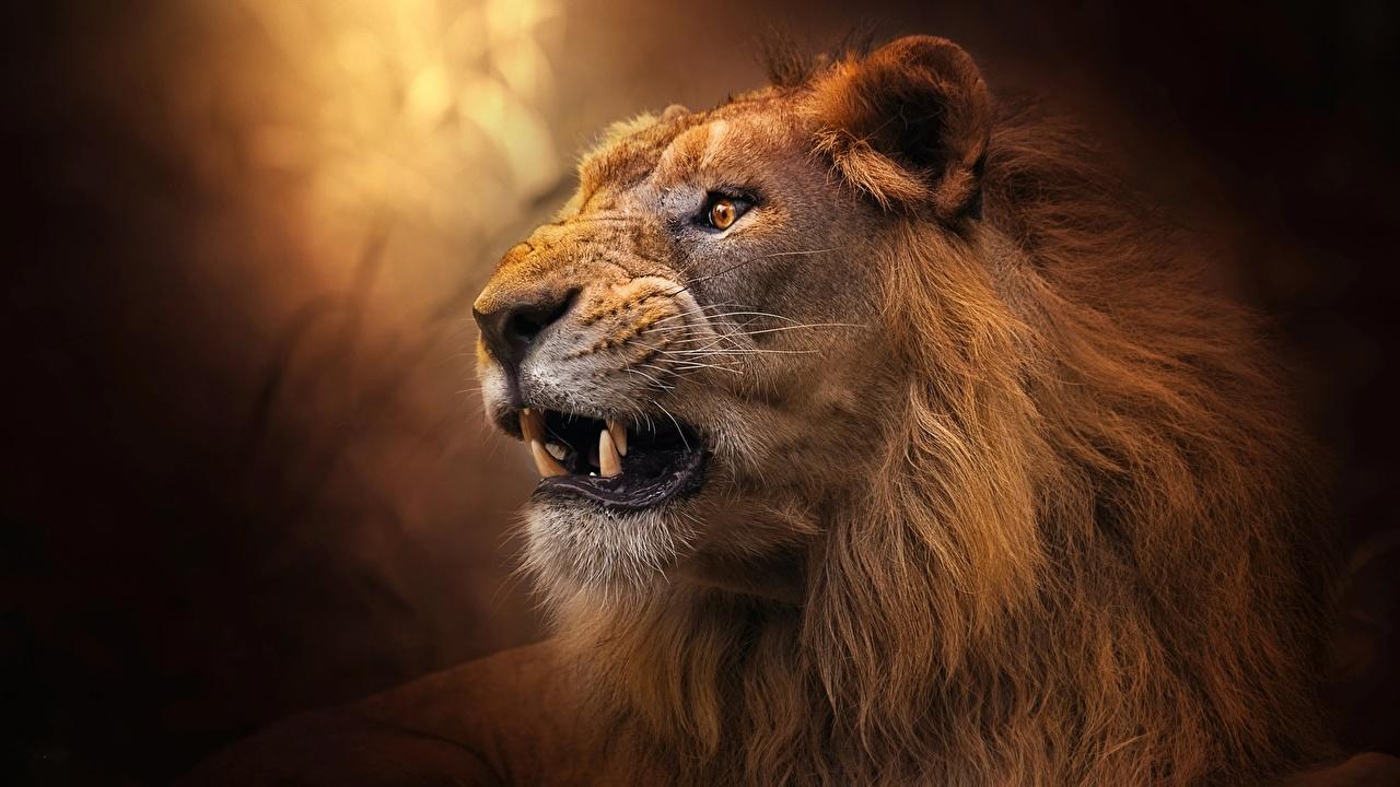 Фотография лев Клыки злость Морда животное Львы злой Оскал рычит морды Животные