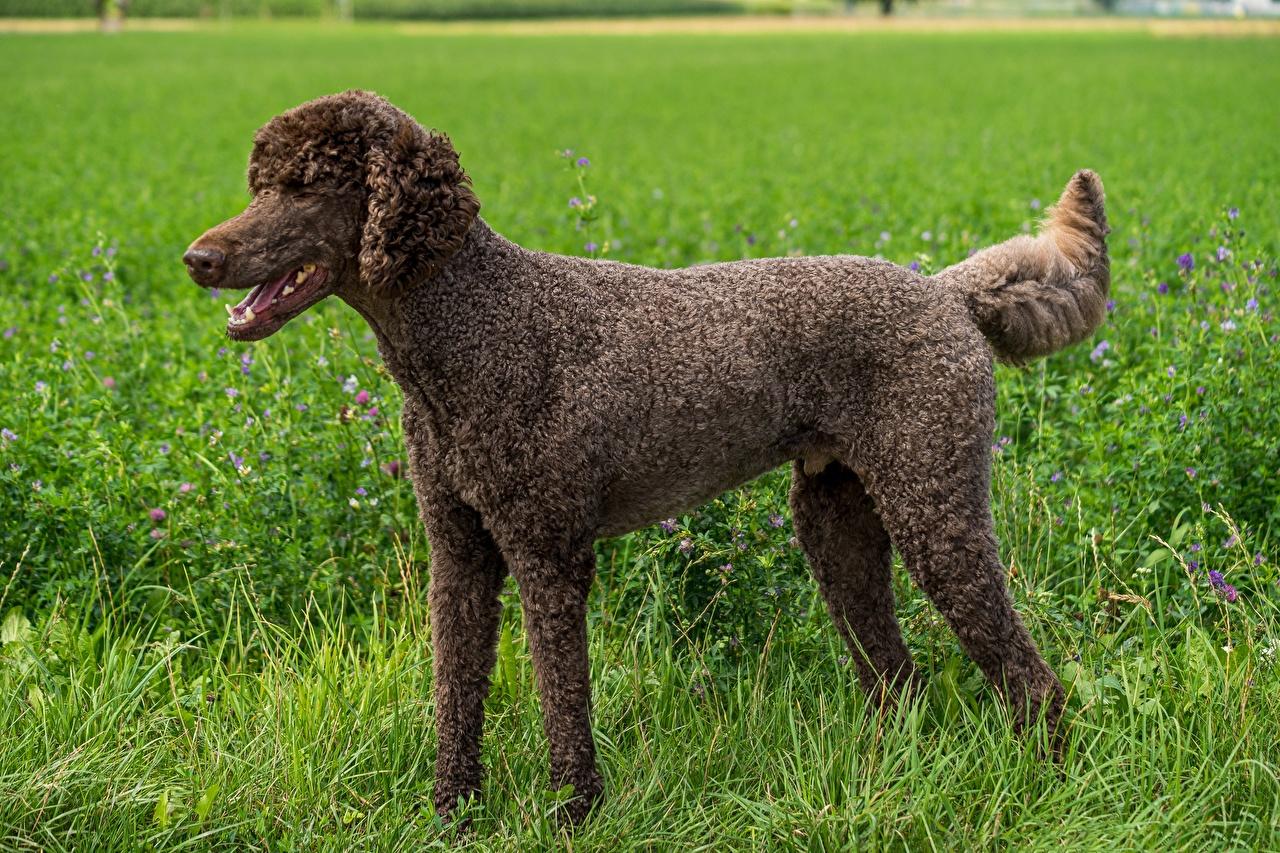 Фотография пуделя собака Коричневый Трава Сбоку Животные Пудель пудели Собаки коричневые коричневая траве животное