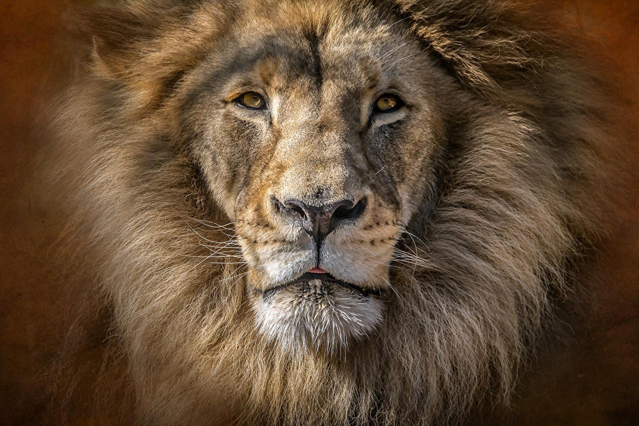 Фотография Львы морды Взгляд животное Крупным планом лев Морда вблизи смотрит смотрят Животные