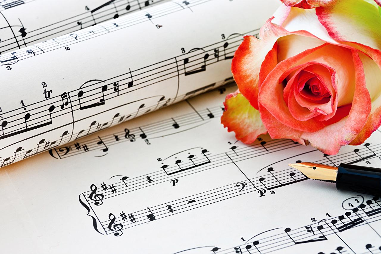 Фотография Ноты Розы цветок вблизи роза Цветы Крупным планом