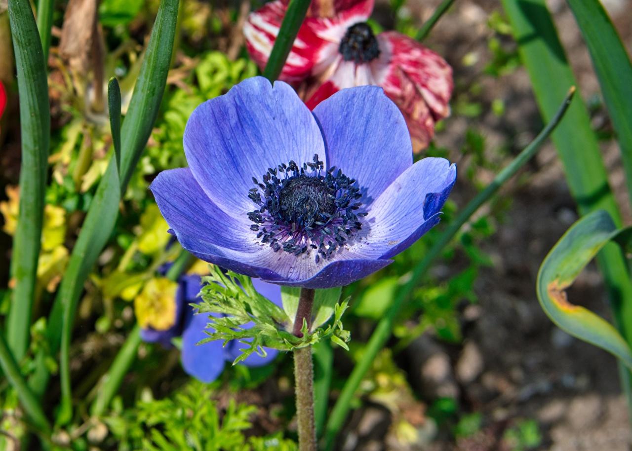 Фото боке синие цветок Анемоны вблизи Размытый фон синяя Синий синих Цветы Ветреница Крупным планом