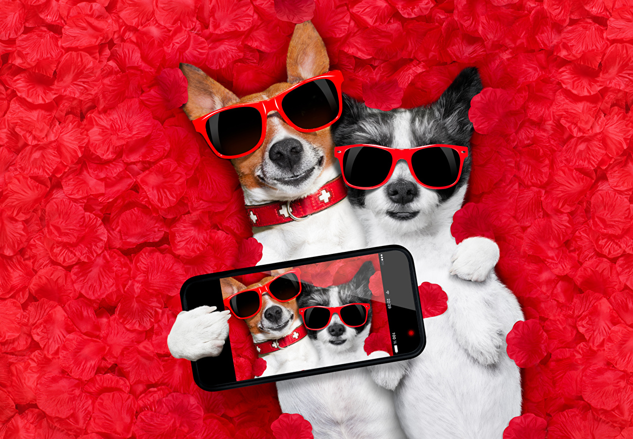 Картинки Джек-рассел-терьер Собаки Селфи Смартфон смешной два лепестков очков Животные собака смартфоны сматфоном Смешные смешная забавные 2 две Двое вдвоем Лепестки Очки очках животное