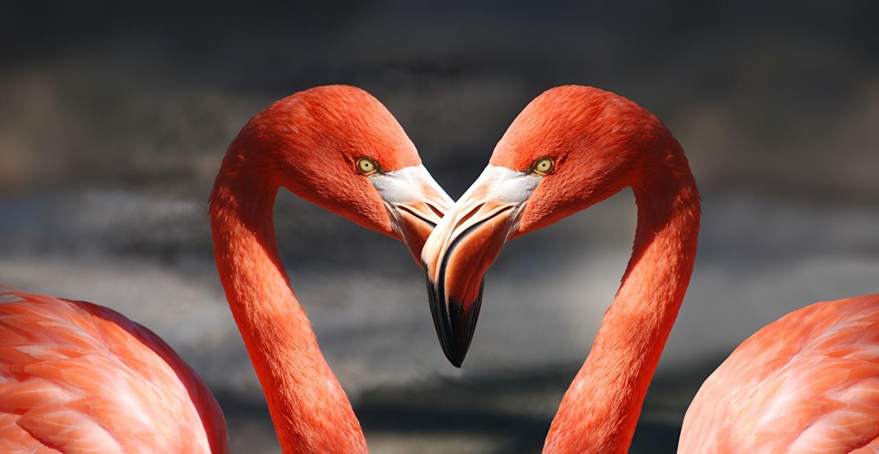 Картинка Птицы Фламинго Клюв 2 Животные Крупным планом Двое вдвоем вблизи