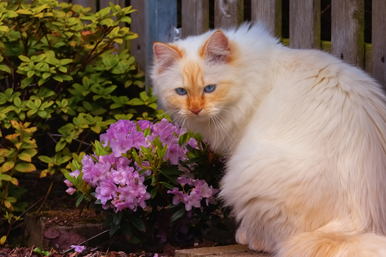 Картинки Кошки Белый Рододендрон Животные кот коты кошка белая белые белых животное