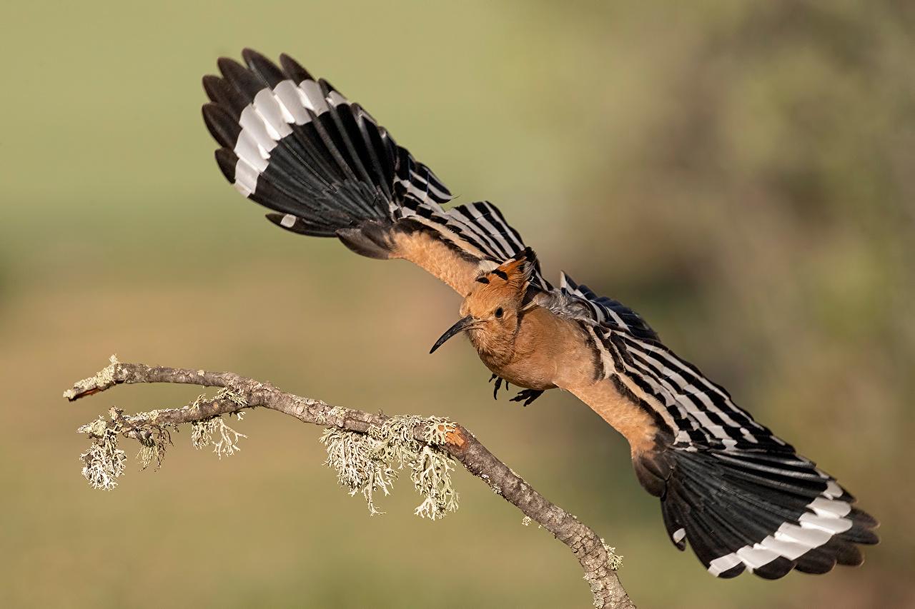 Картинки птица Крылья hoopoe, Upupa epops Ветки Животные Птицы ветвь ветка на ветке животное