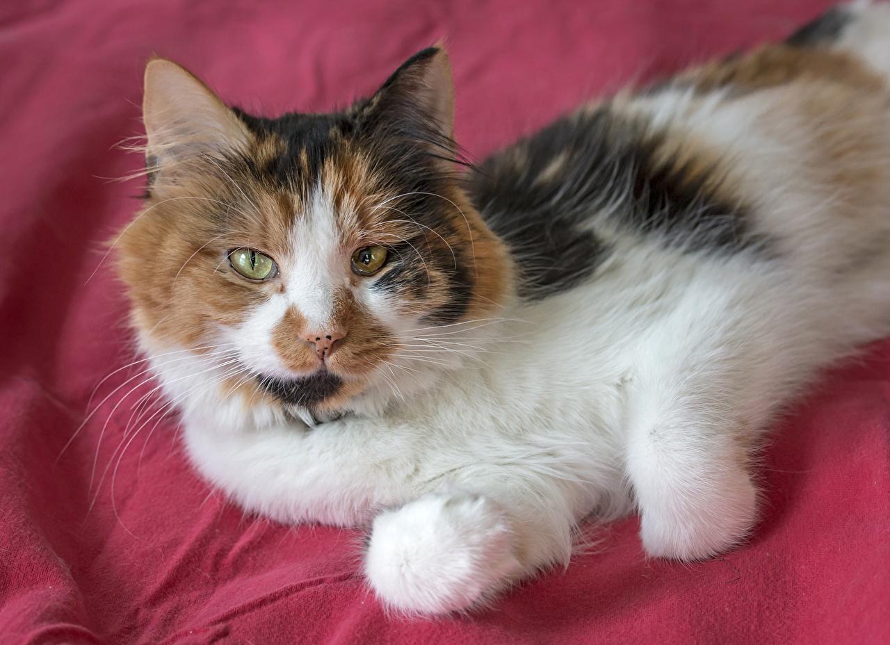 Картинки Кошки Взгляд Животные Коты смотрит