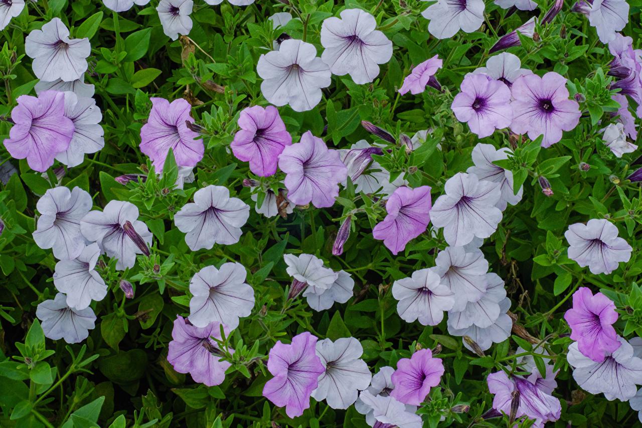 Фотография цветок Петунья вблизи Цветы петуния Крупным планом