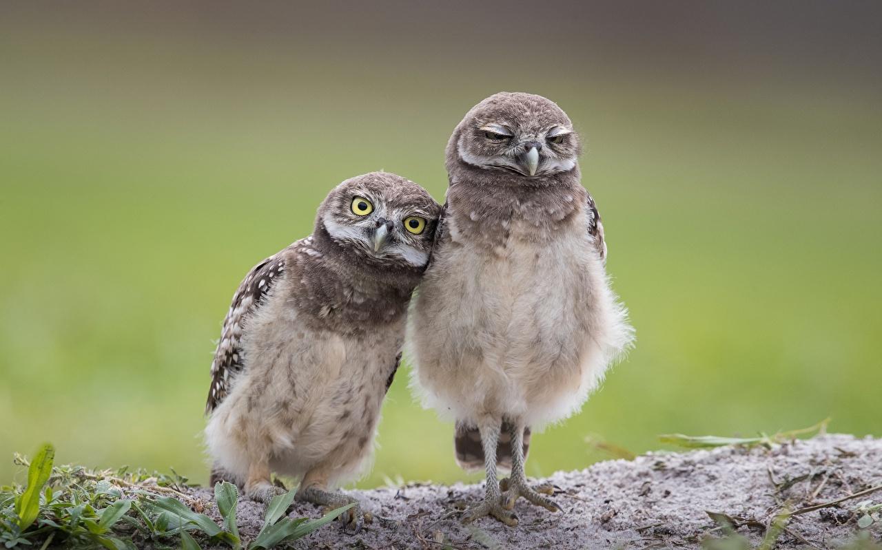 Фотографии совы птица Burrowing owl Милые две животное сова Птицы Совообразные милая милый Миленькие 2 два Двое вдвоем Животные