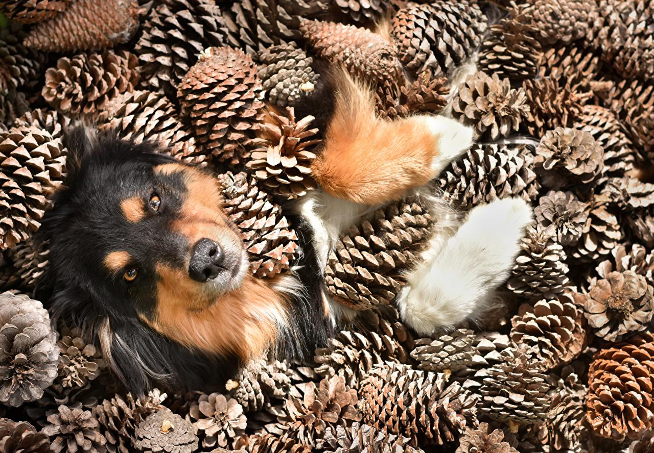 Фотография Австралийская овчарка Собаки Шишки Животные