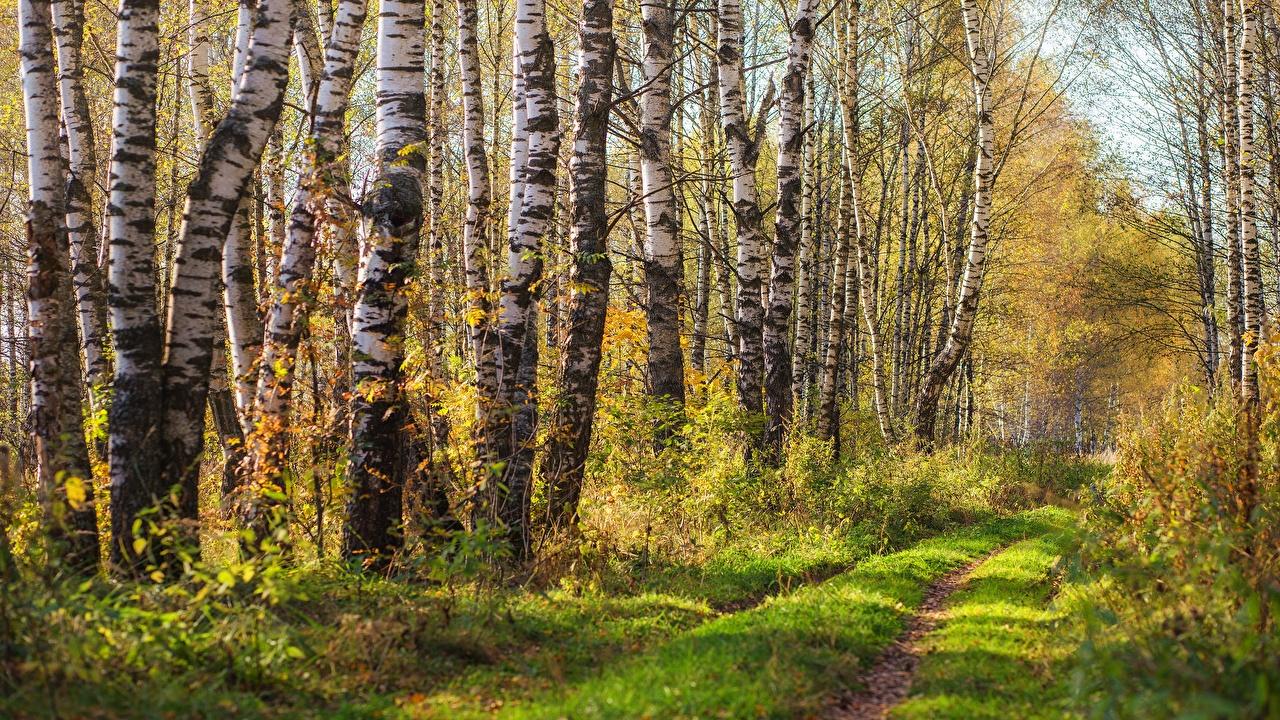 Фотография Березы Природа Леса Дороги деревьев береза лес дерево дерева Деревья