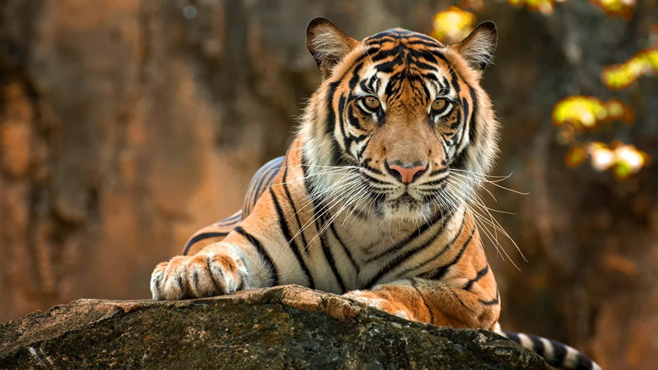 Фото Тигры Лапы Усы Вибриссы Взгляд Животные тигр лап смотрит смотрят животное