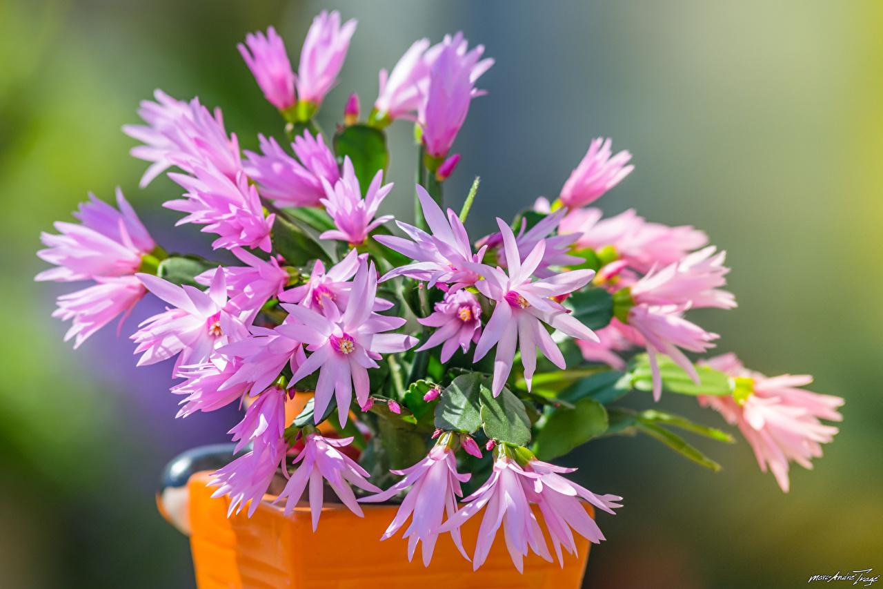 Фотографии Schlumbergera Цветы Кактусы вблизи цветок Крупным планом