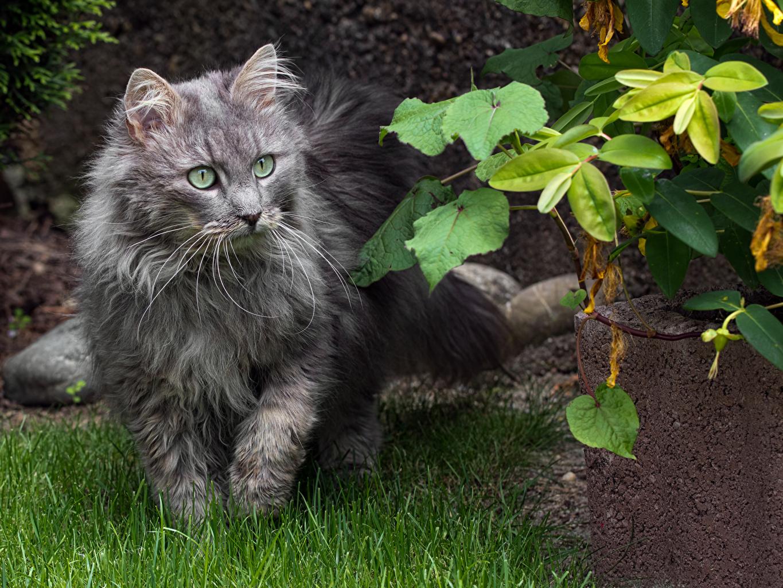 Фотографии коты Серый траве Взгляд животное кот Кошки кошка серая серые Трава смотрит смотрят Животные