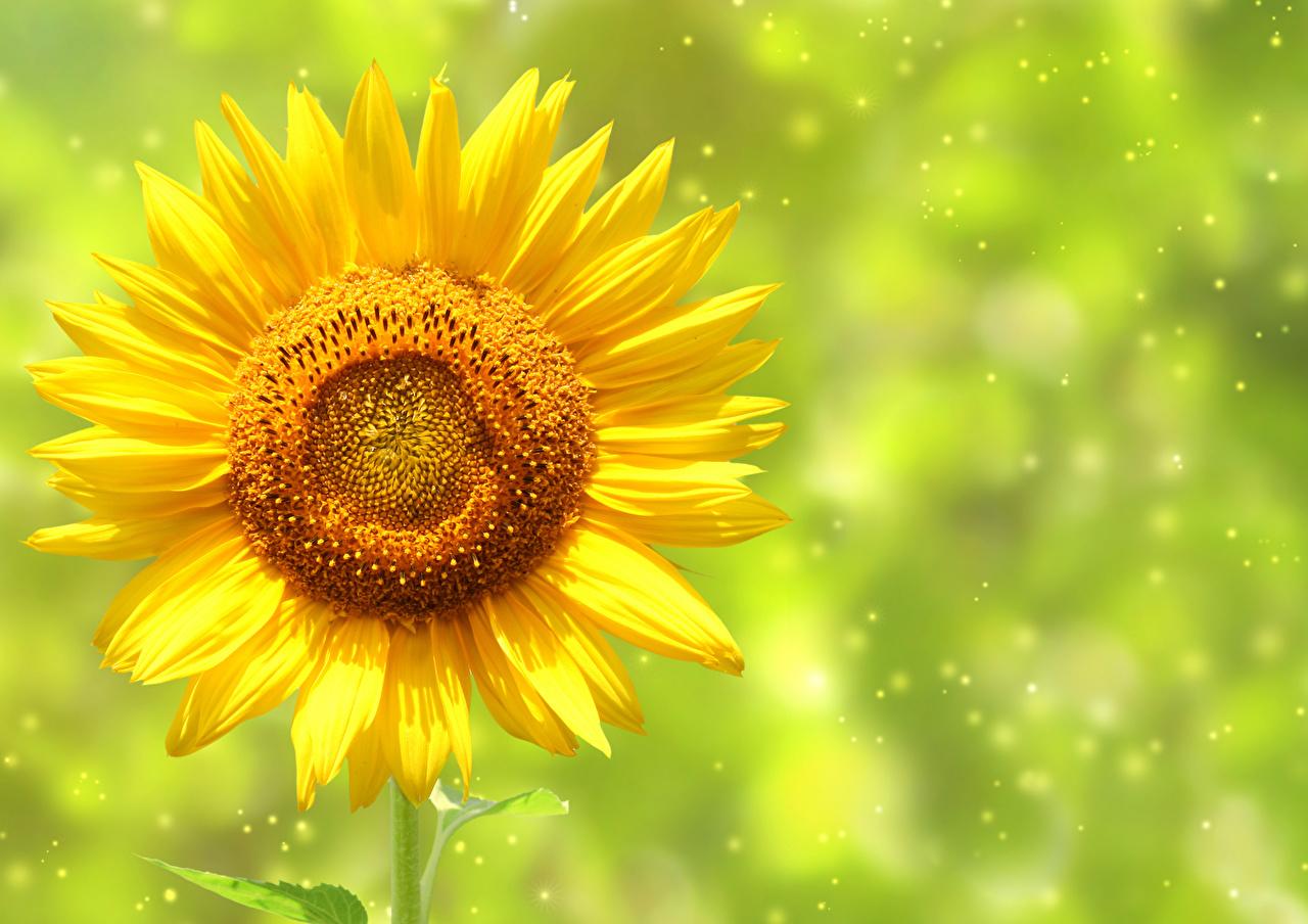 Фотография желтые Цветы Подсолнухи Крупным планом желтая Желтый желтых цветок Подсолнечник вблизи