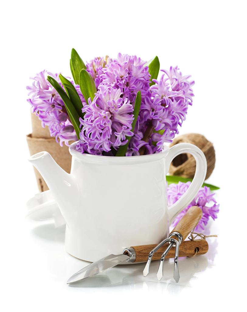 Обои для рабочего стола Цветы Кувшин Гиацинты Белый фон  для мобильного телефона цветок кувшины белом фоне белым фоном