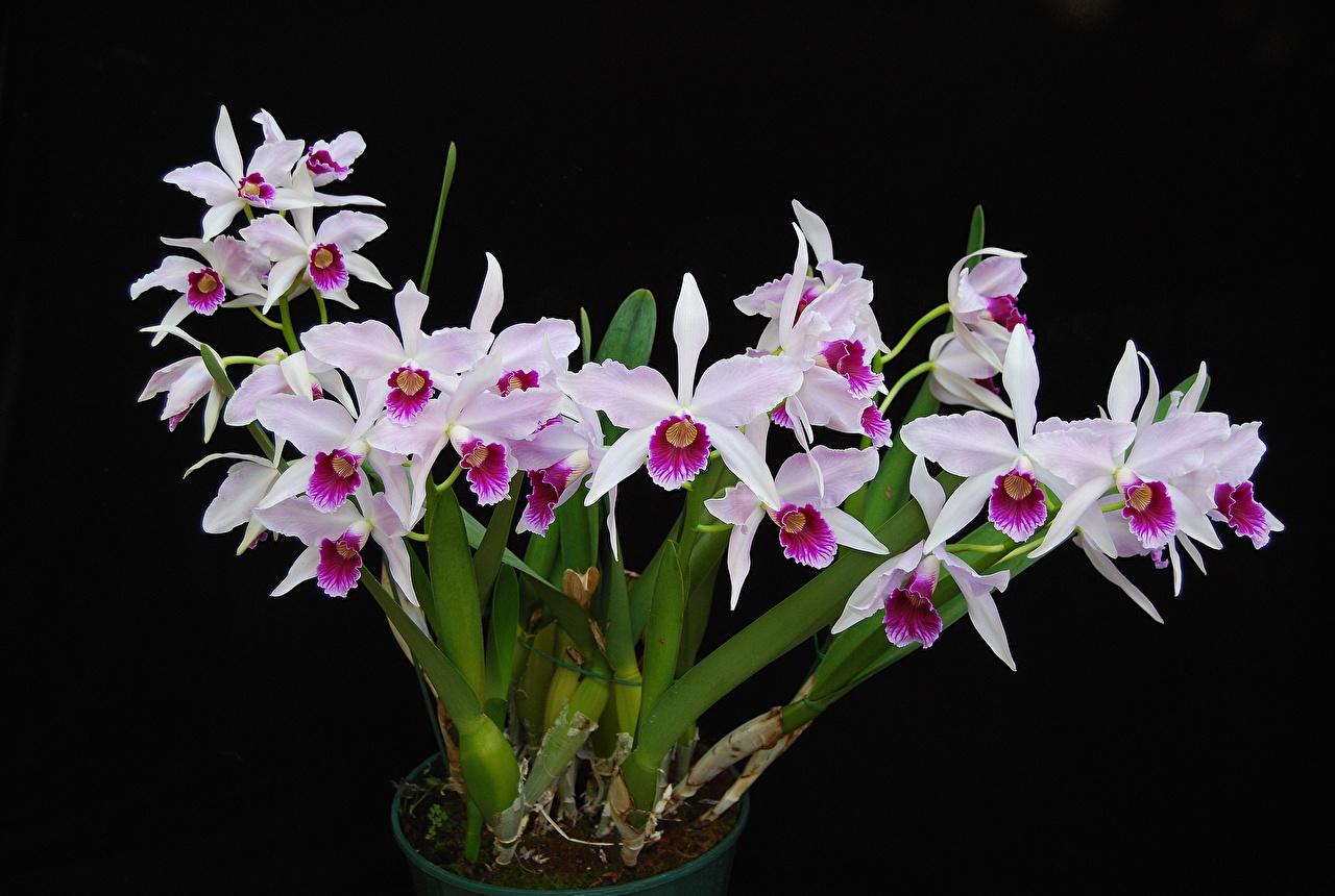 Картинка Орхидеи цветок Черный фон орхидея Цветы на черном фоне