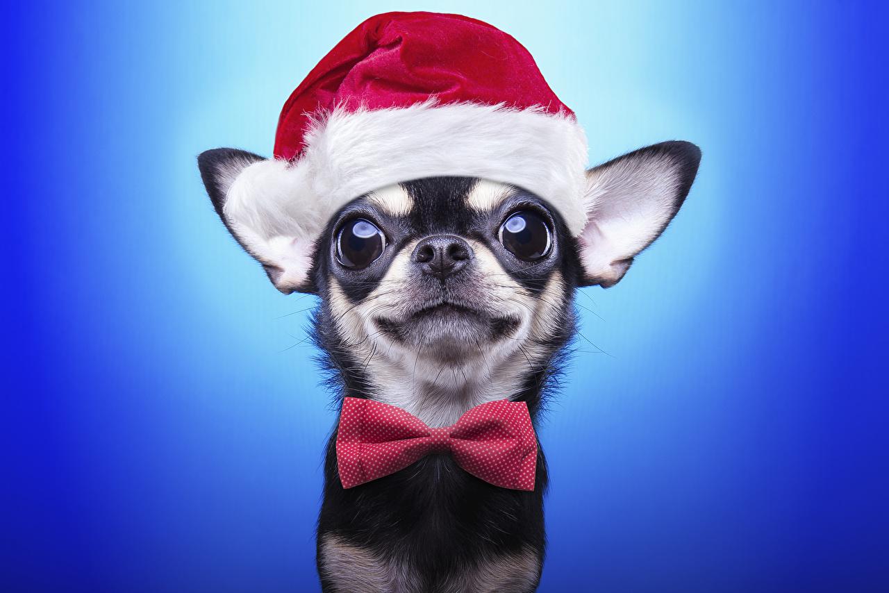 Фото Животные Чихуахуа Собаки Рождество Шапки бант смотрят Галстук-бабочка Цветной фон Новый год шапка в шапке Бантик бантики Взгляд смотрит